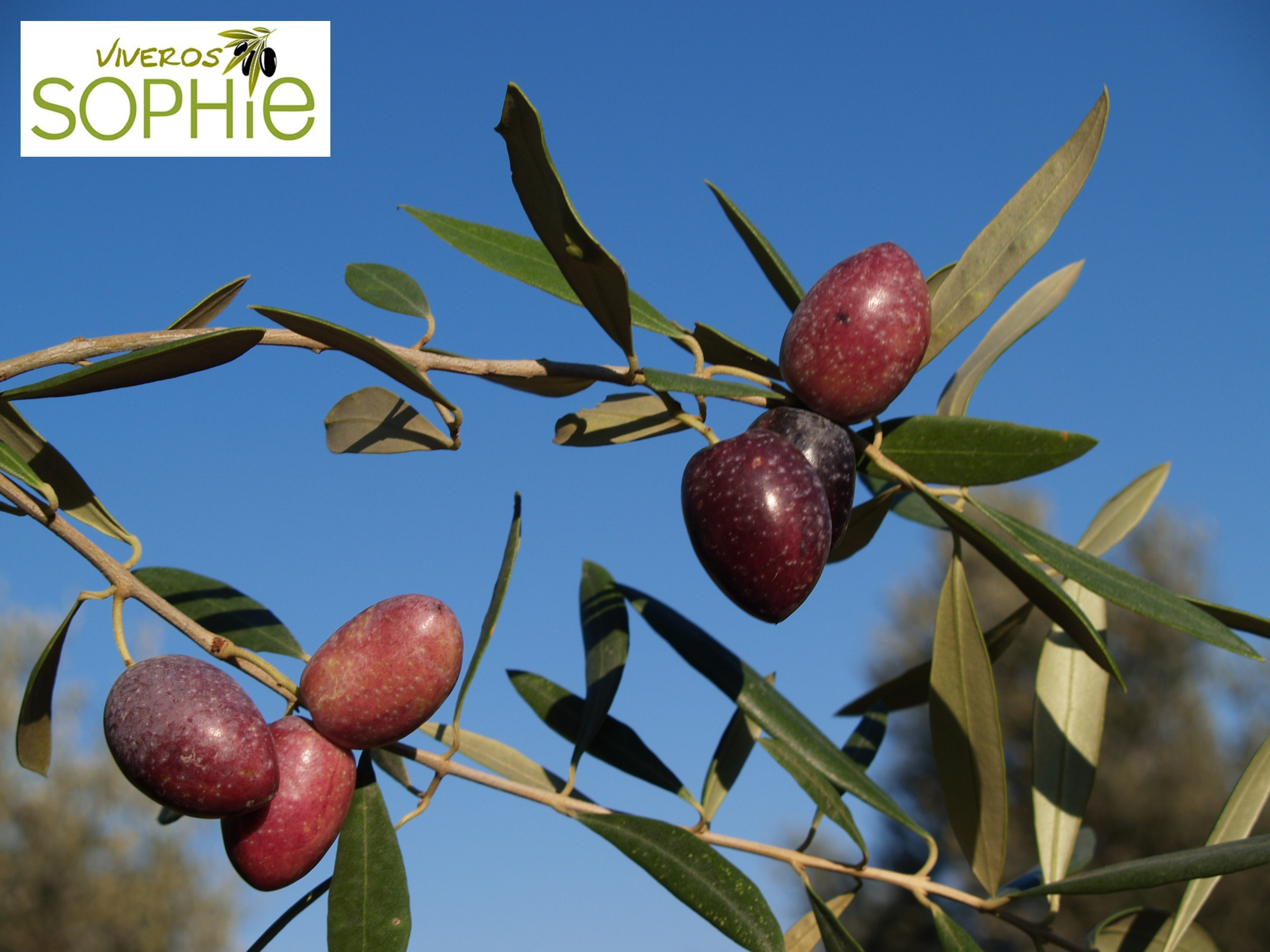 Variedad de planta de olivo azapa for Vivero antofagasta