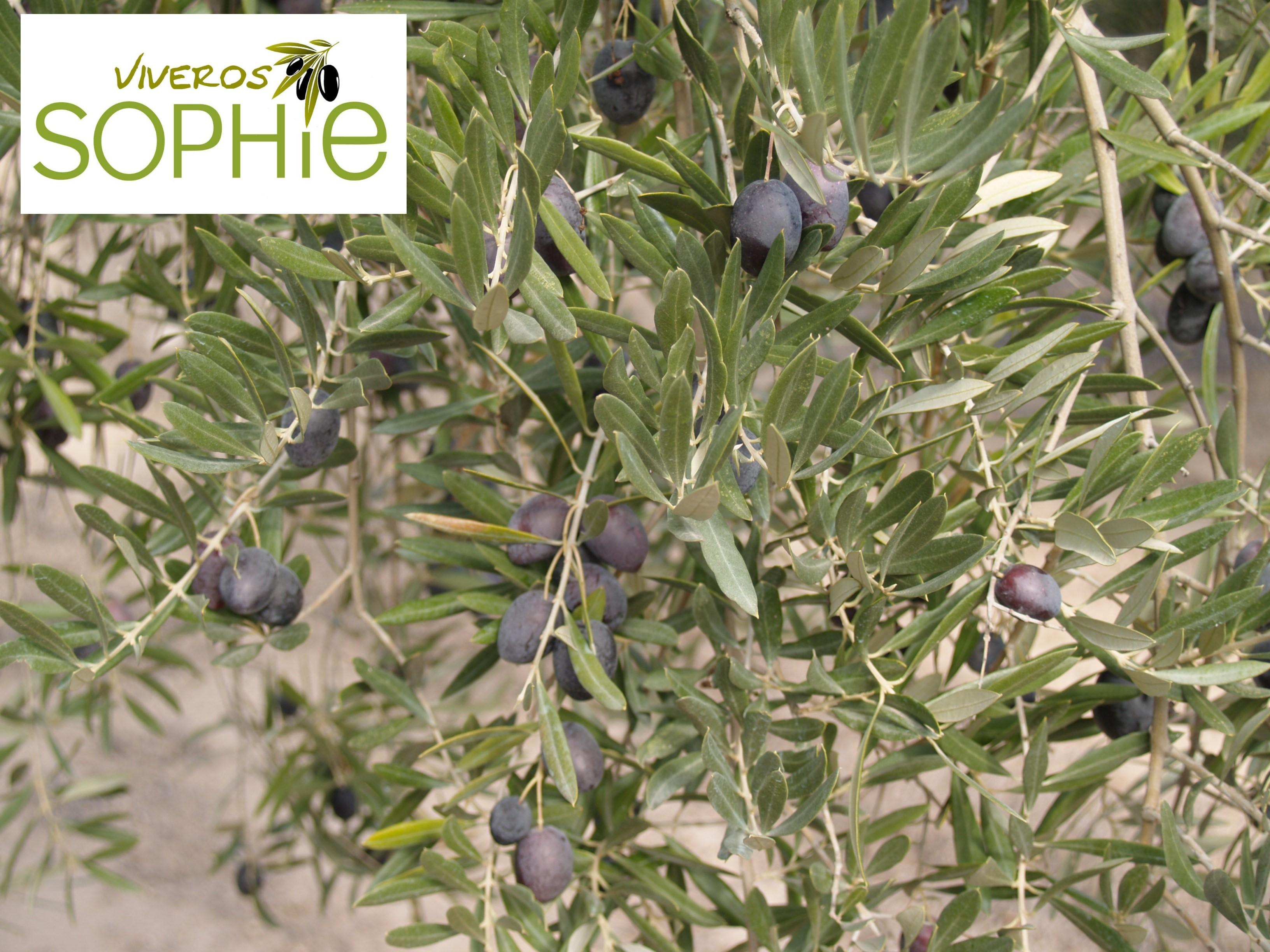 Variedad de planta de olivo gordalejo for Viveros en granada
