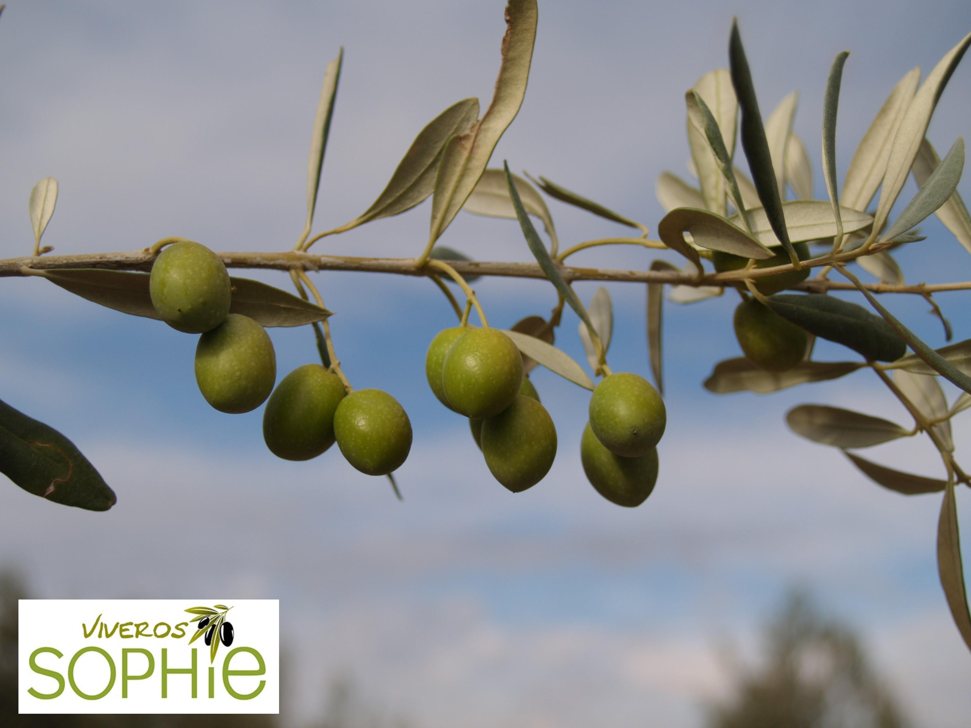 Variedad de planta de olivo verdial de velez m laga for Viveros del sureste